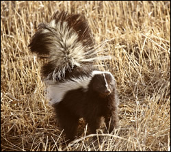 skunk-control